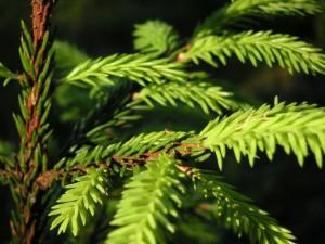 A spruce in the sun.